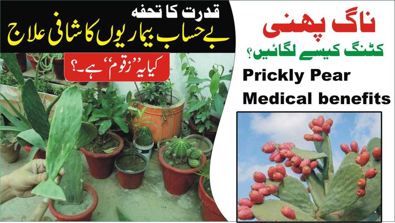31 Top Benefits Of Prickly Pear (Nagfani) For Skin, Hair Health